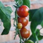 Så tomatplanter på 8 uker.