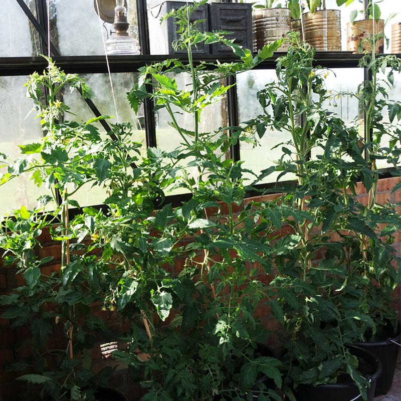 Dyrke tomater i bøtte.