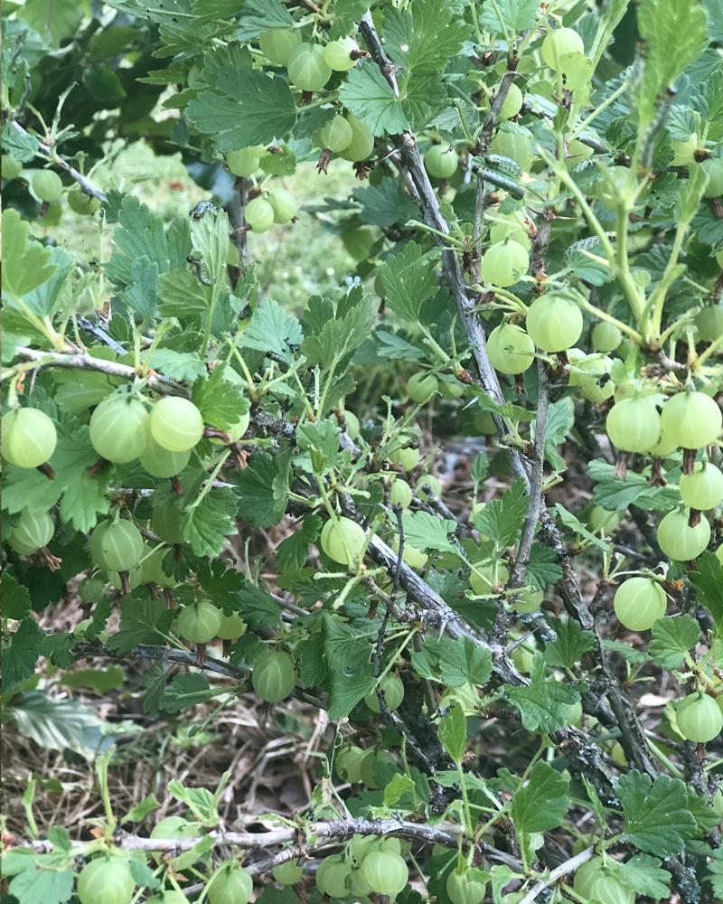 Stikkelsbær