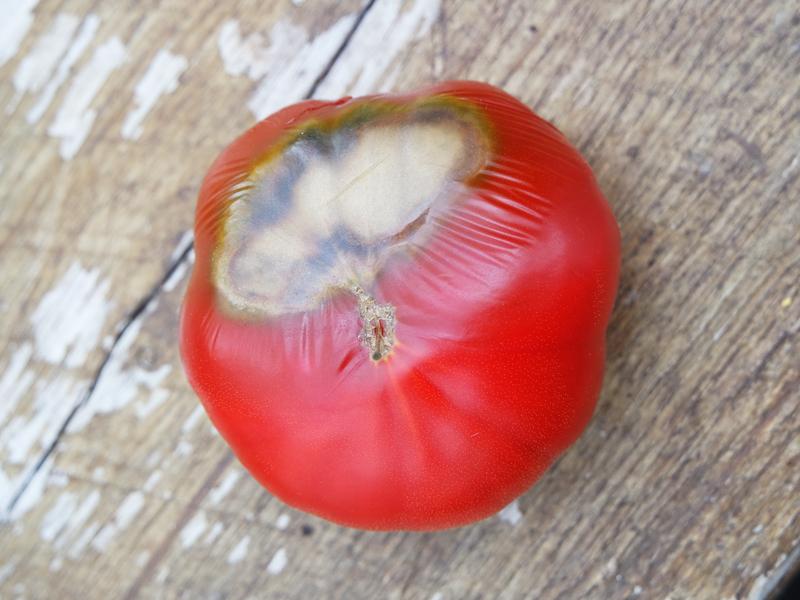 Hvordan lykkes man med tomatene sine?