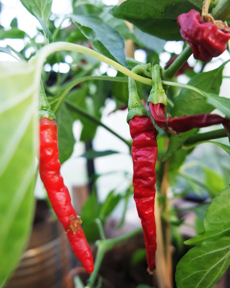 Krydderurter chili