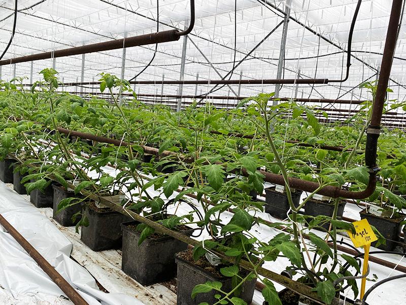 tomatdyrkeren