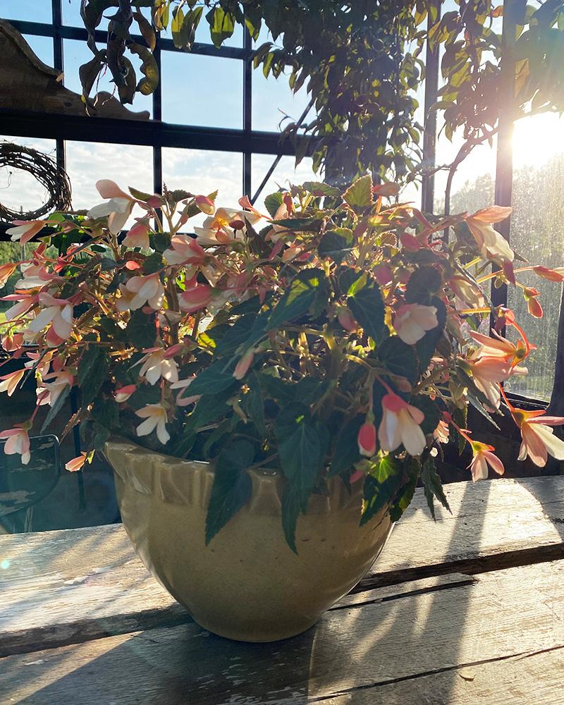 Begonia - Min favorittblomst 2021
